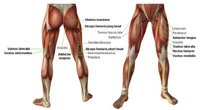 Что такое болят мышцы ног от бедра thumbnail